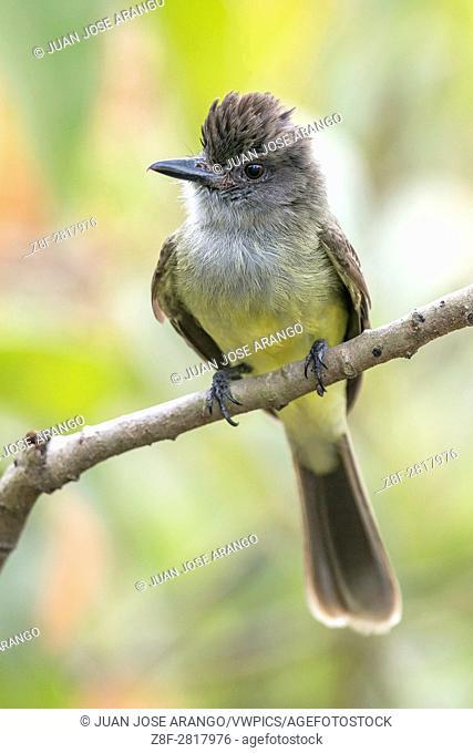 Apical Flycatcher (Myiarchus apicalis), Cali, Valle del Cauca