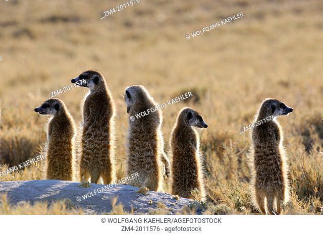 BOTSWANA, KALAHARI DESERT, GROUP OF MEERKAT WARMING UP IN MORNING SUNSHINE