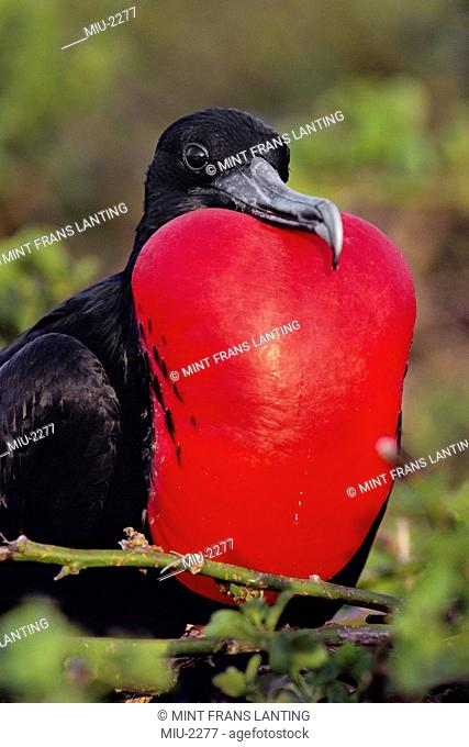 Magnificent frigate bird male, Fregata magnificens, Galapagos Islands