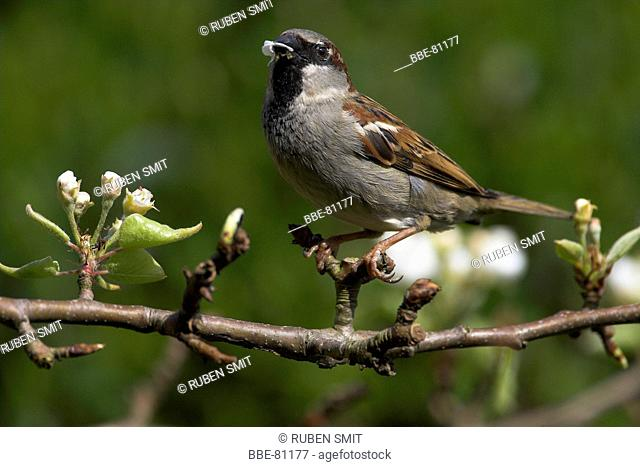 House sparrow eating knobs from a fruit tree