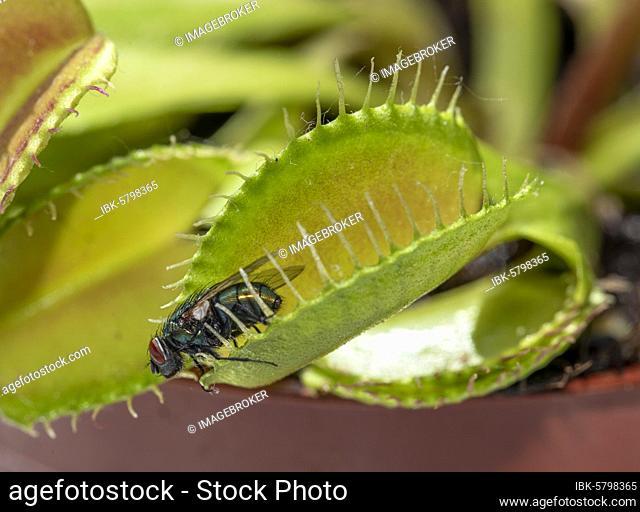 Fly (Brachycera) in Venustrap (Dionaea muscipula)