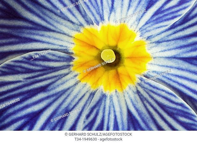 """Primula """"""""Zebra Blue"""""""" Botanic Garden Hamburg, Germany"""