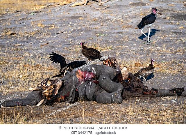 A carcass of a dead elephant is eaten by white-backed vultures (Gyps africanus). Photographed at Hwange National Park, Zimbabwe