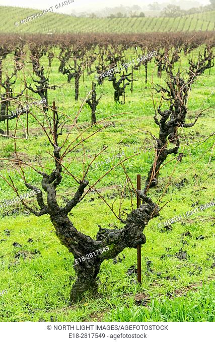 USA, CA, Healdsberg. Heavily pruned vineyards in the wintertime. The Sonoma Valley wine region is famous for making fine Zinfandel