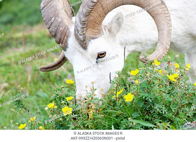 Close up of a Dall Sheep grazing on flowers in Polychrome Pass, Denali National Park & Preserve, Interior Alaska, Summer