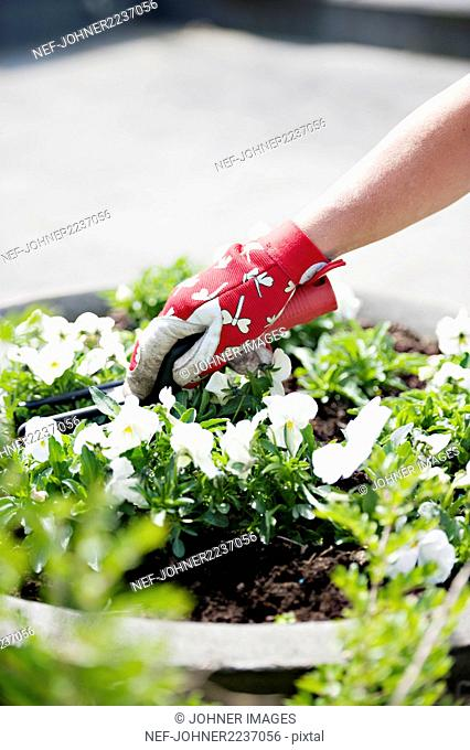 Woman planting pansies