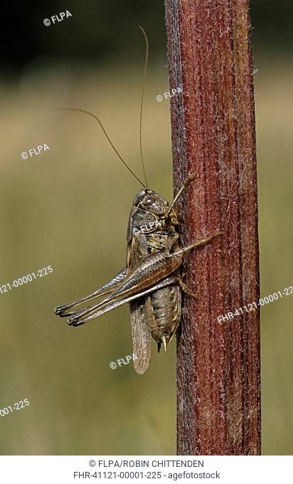 Grey Bush-cricket Platycleis albopunctata Male on stem - Dorset, England