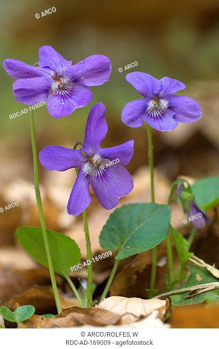 Early Dog Violet, Mecklenburg-Western Pomerania, Germany, Viola reichenbachiana, Viola silvestris