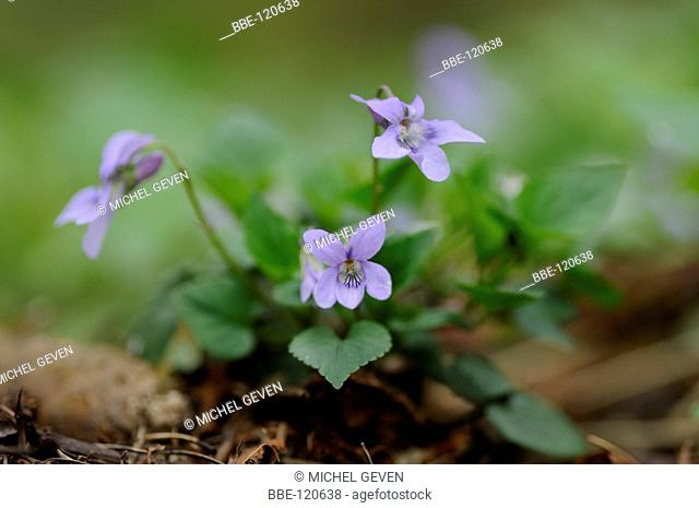 Flowering Early Dog Violet