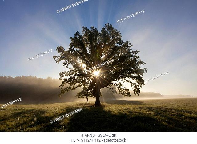 Sun shining through foliage of old solitary English oak / pedunculate oak / French oak tree (Quercus robur) in meadow in autumn
