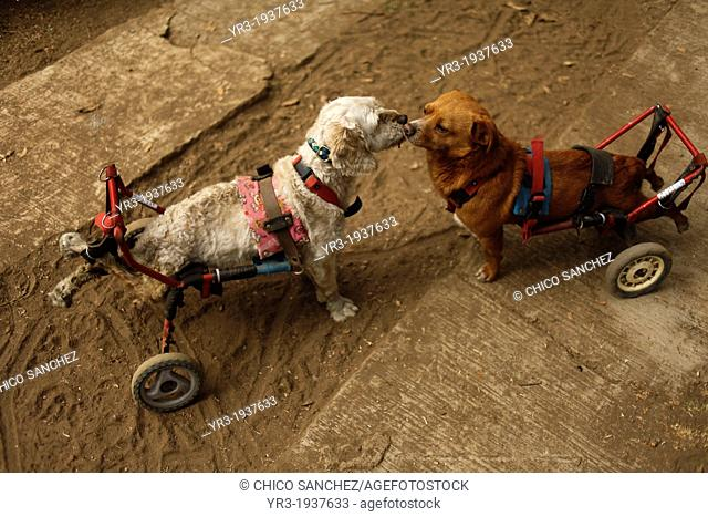 """Dogs in wheelchairs play at the """"""""Milagros Caninos,"""""""" or Canine Miracles dog sanctuary in Xochimilco, Mexico City, January 25, 2013"""