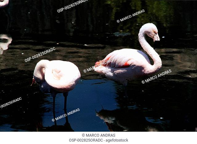 light pink flamongos birds on a lake