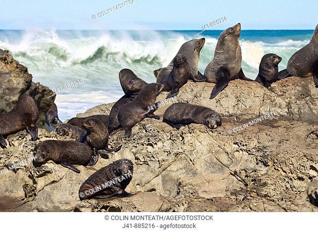 Fur seals and creche of pups, Kaikoura, Canterbury, New Zealand