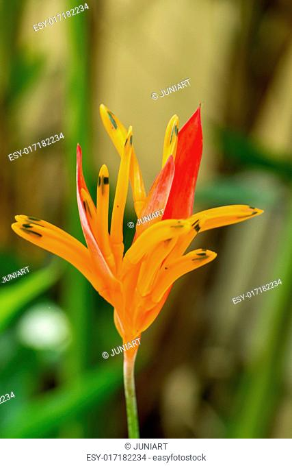 Colorful orange hybrid tropical strelitzia flowers with large lush green leaves growing in a garden in Bali against a pebble stone wall