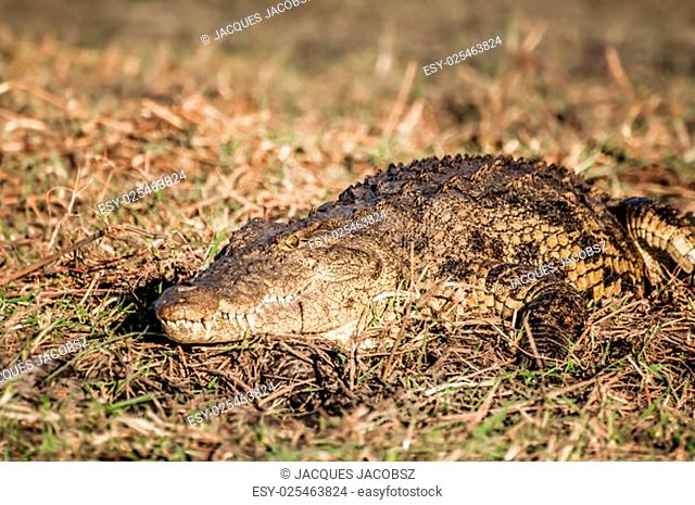 A nile crocodile lies and rests in the warm sun on a grassy area of the banks of the Chobe river during the late afternoon