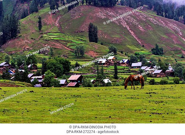 Horse grazing in green meadows, Chorwan village, Kashmir, India, Asia
