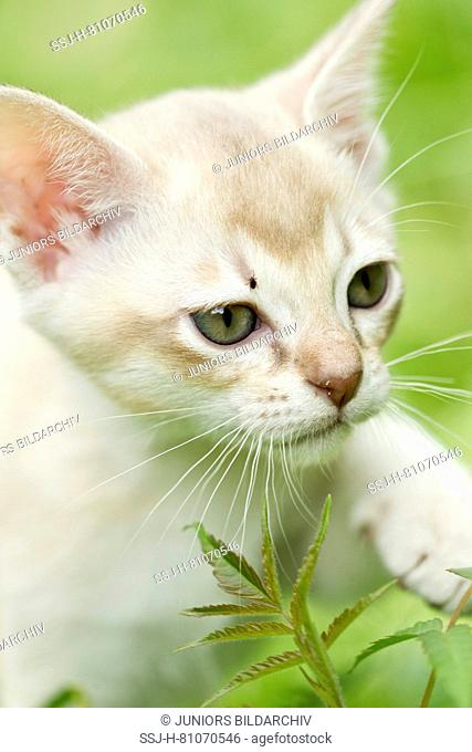 Burmese cat. A kitten with a tick on its head. Germany