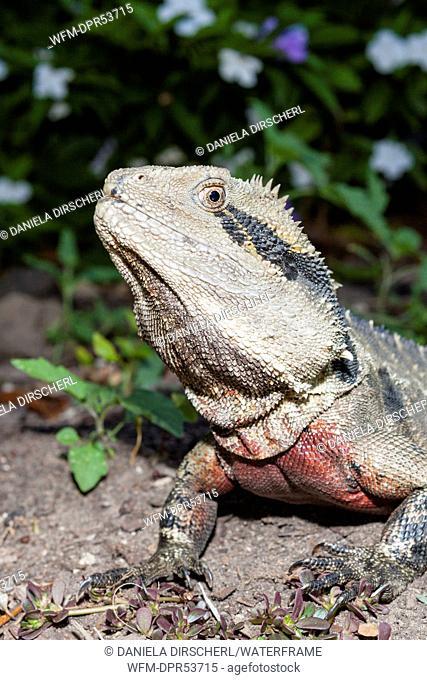 Eastern Australian Water Dragon, Physignathus lesueurii lesueurii, Queensland, Australia