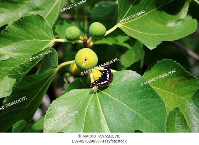 Beautiful buterfly on the fig tree available in high-resolution and several sizes to fit the needs of your project