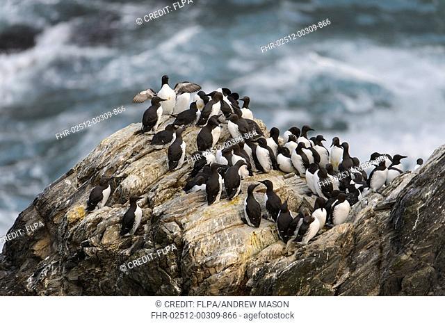 Common Guillemot (Uria aalge) flock, on sea cliff, Sumburgh Head RSPB Reserve, Mainland, Shetland Islands, Scotland, July