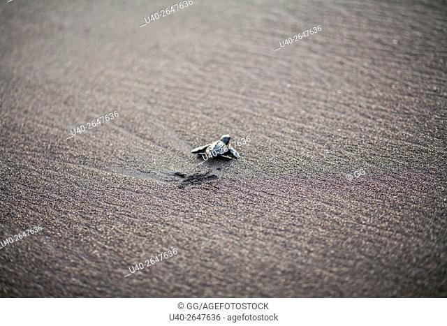 Guatemala, baby sea turtle going to the ocean
