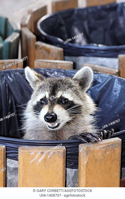 A Raccoon standing in a garbage can with his legs on the rim and his head pointed towards the camera