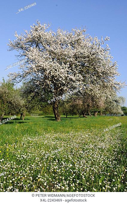 apple tree in bloom, Austria, Lower Austria, Wachau