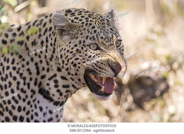 Africa, Southern Africa, South African Republic, Mala Mala game reserve, savannah, African Leopard (Panthera pardus pardus), eating a prey
