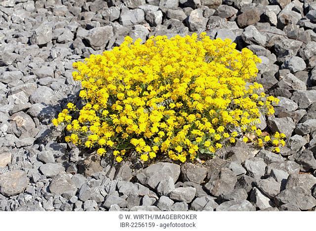 Basket of Gold, Golden-tuft Alyssum or Golden-tuft Madwort (Aurinia saxatilis), native to Europe and Turkey, Botanical Garden, Duesseldorf