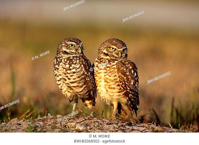 burrowing owl (Athene cunicularia), pair standing on the ground, USA, Florida, Cape Coral