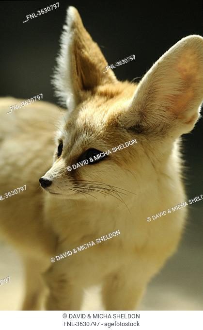 Fennec Fox Vulpes zerda looking around
