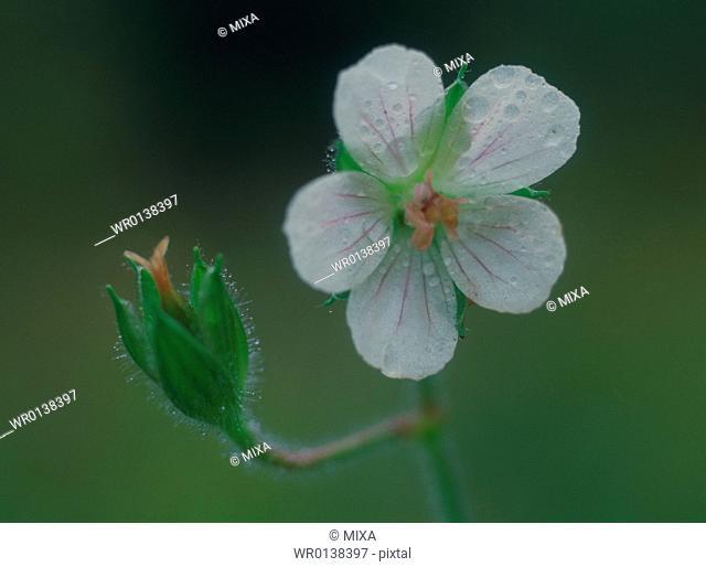 Geranium nepalense, close-up