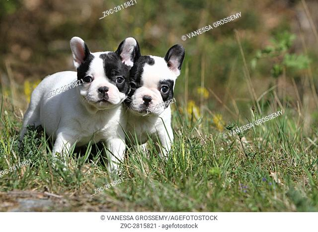 Dog French Bulldog two puppies standing in a meadow