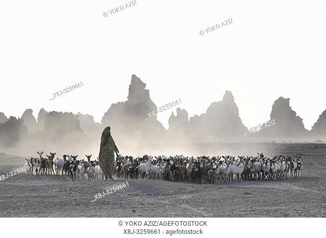 Djibouti, Abbe lake area, flock of goats, Afar