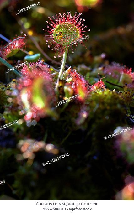 Round-leaved sundew Drosera rotundifolia grows in a low moor on sphagnum moss - Hesselberg region, Bavaria/Germany