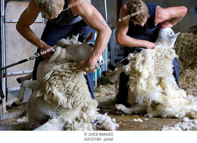Young farmers shearing sheep for wool in barn