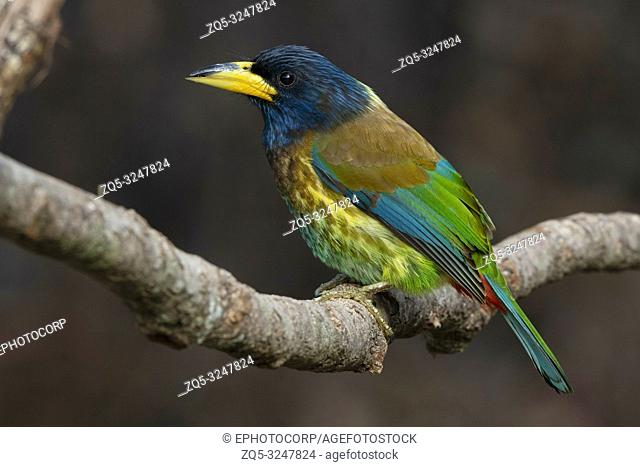 Great Barbet, Psilopogon virens, Sattal, Uttarakhand, India