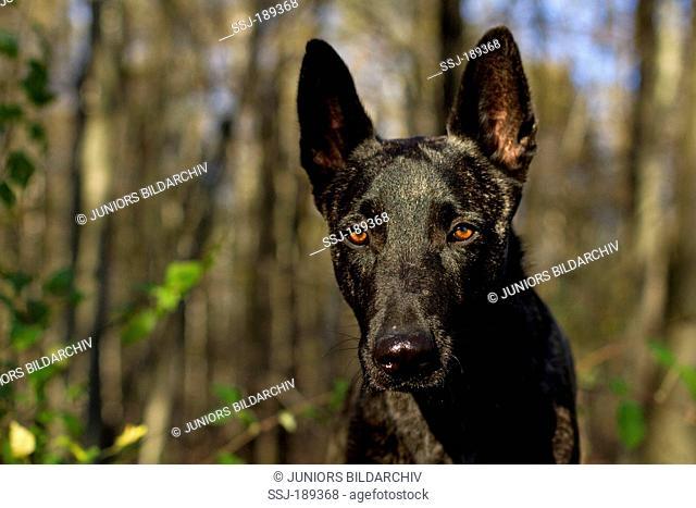 Dutch Shepherd Dog. Portrait of adult dog. Germany