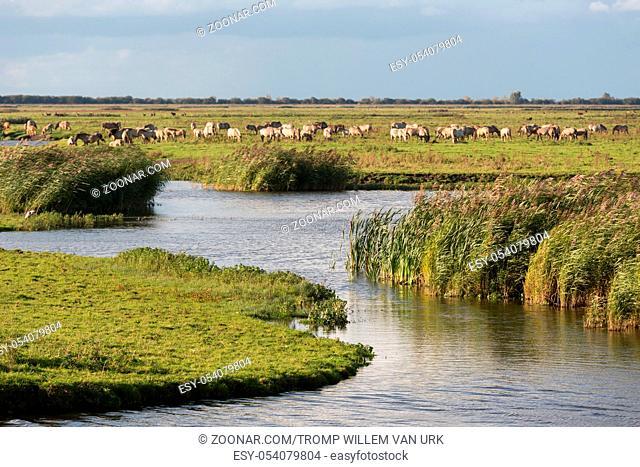 Dutch wetland with horses in National Park Oostvaardersplassen
