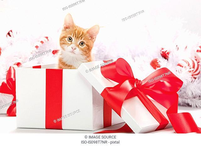 Kitten in christmas gift box
