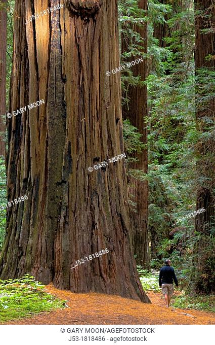Man hiking in old growth coast redwood forest, Humboldt Redwoods State Park, Humboldt County, California
