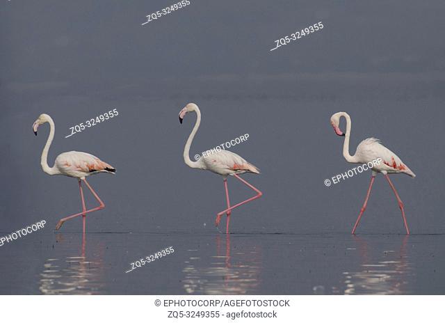 The greater flamingo, Phoenicopterus roseus, walking in water with reflection at Bhigwan, Pune, Maharashtra, India