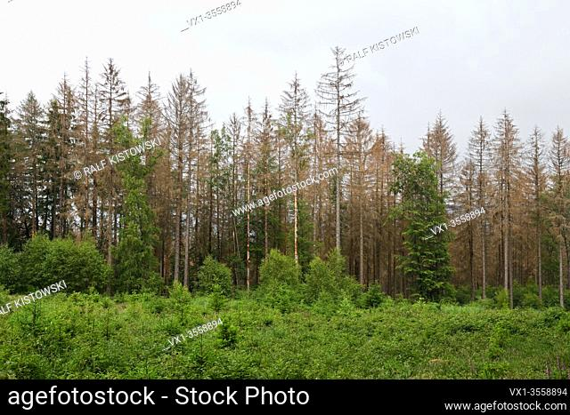 Forest dieback, spruce dieback due to drought and bark beetle attack, sigs of climate change, Sauerland, North Rhine Westphalia; Germany