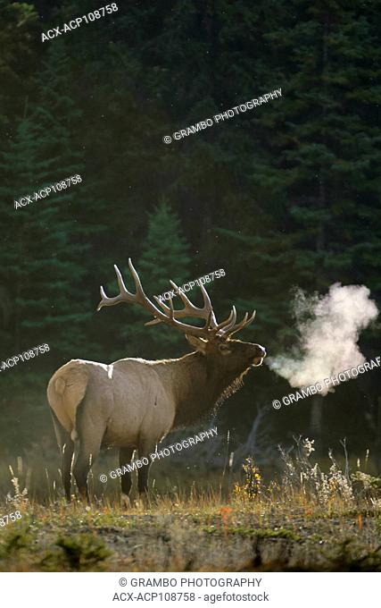 Bull Elk, Cervus elaphus, breathes mist in chilly autumn morning air, Jasper National Park, Alberta, Canada
