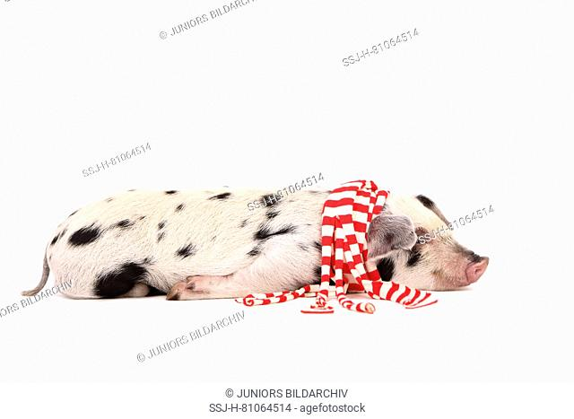 Domestic Pig, Turopolje x ?. Piglet (3 weeks old) lying, wearing a red-and-white scarf. Studio picture seen against a white background. Germany