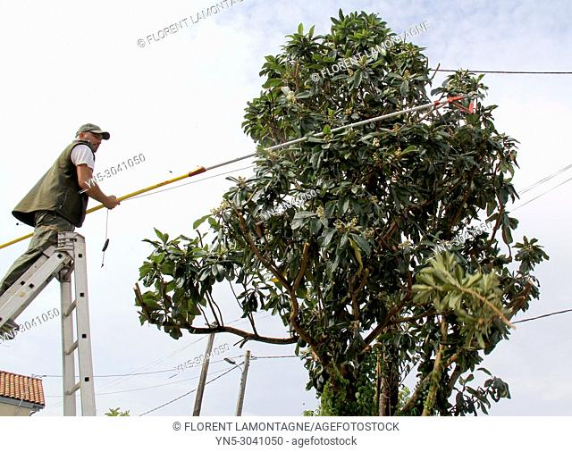 Pruning of a fruit tree, eriobotrya japonica, with a pruner's tool for cutting branches touching electric pole. Security work and care
