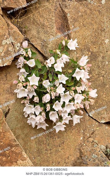 A white rock bellflower, Campanula betulifolia on rocks of Coruh Valley, north-east Turkey