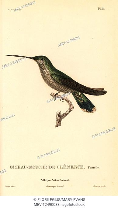 Blue-throated mountaingem, Lampornis clemenciae (Ornismya clemenciae), female. Handcolored steel engraving by Coutant after an illustration by Jean-Gabriel...