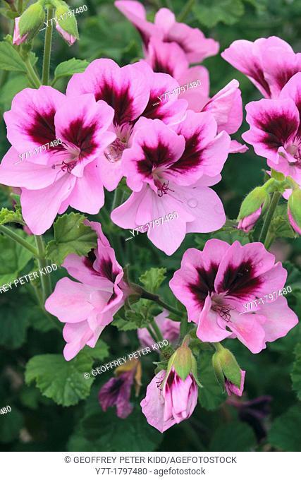 Pelargonium 'Catford Belle'. Photographed in garden, UK