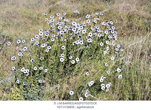 Crown friar (Globularia alypum) is a small shrub native to Mediterranean Basin. This toxic plant was used how a medicinal